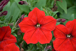 Easy Wave® Red Petunia (Petunia 'Easy Wave Red') at Dutch Growers Garden Centre