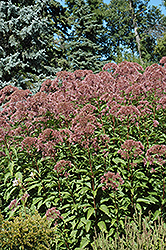 Joe Pye Weed (Eupatorium purpureum) at Dutch Growers Garden Centre
