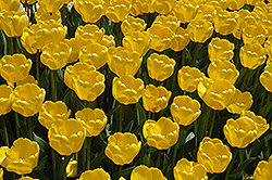 Golden Appeldoorn Tulip (Tulipa 'Golden Appeldoorn') at Dutch Growers Garden Centre