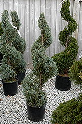 Wichita Blue Juniper (spiral) (Juniperus scopulorum 'Wichita Blue (spiral)') at Dutch Growers Garden Centre