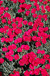 Frosty Fire Pinks (Dianthus 'Frosty Fire') at Dutch Growers Garden Centre