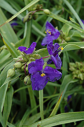 Zwanenburg Blue Spiderwort (Tradescantia x andersoniana 'Zwanenburg Blue') at Dutch Growers Garden Centre