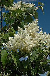 Ivory Silk Tree Lilac (tree form) (Syringa reticulata 'Ivory Silk (tree form)') at Dutch Growers Garden Centre