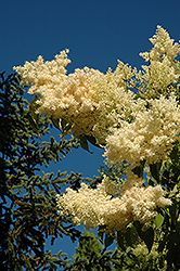 Golden Eclipse Japanese Tree Lilac (Syringa reticulata 'Golden Eclipse') at Dutch Growers Garden Centre