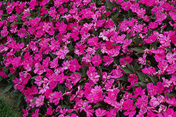 SunPatiens® Compact Lilac New Guinea Impatiens (Impatiens 'SunPatiens Compact Lilac') at Dutch Growers Garden Centre