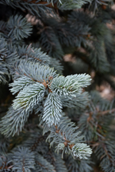 Hoopsii Blue Spruce (Picea pungens 'Hoopsii') at Dutch Growers Garden Centre