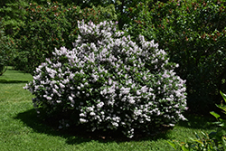 Miss Kim Lilac (Syringa patula 'Miss Kim') at Dutch Growers Garden Centre