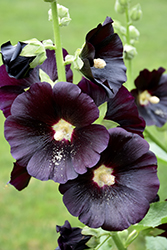 Black Hollyhock (Alcea rosea 'Nigra') at Dutch Growers Garden Centre