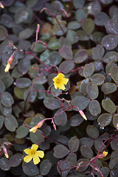 Zinfandel Shamrock (Oxalis vulcanicola 'Zinfandel') at Dutch Growers Garden Centre