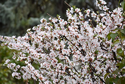Nanking Cherry (Prunus tomentosa) at Dutch Growers Garden Centre