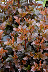 Satin Chocolate Ninebark (Physocarpus opulifolius 'Satin Chocolate') at Dutch Growers Garden Centre