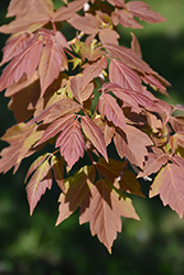 Sensation Boxelder (Acer negundo 'Sensation') at Dutch Growers Garden Centre