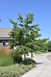 Majestic Skies™ Northern Pin Oak (Quercus ellipsoidalis 'Bailskies') at Dutch Growers Garden Centre