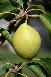 Early Gold Pear (Pyrus ussuriensis 'Early Gold') at Dutch Growers Garden Centre