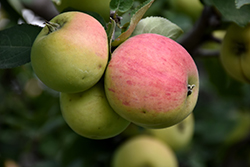 Norland Apple (Malus 'Norland') at Dutch Growers Garden Centre