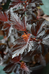 Fireside® Ninebark (Physocarpus opulifolius 'Fireside') at Dutch Growers Garden Centre