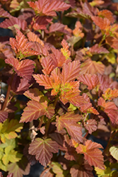 Amber Jubilee™ Ninebark (Physocarpus opulifolius 'Jefam') at Dutch Growers Garden Centre