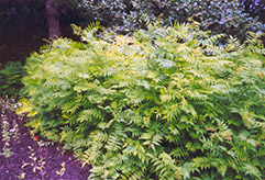 False Spirea (Sorbaria sorbifolia) at Dutch Growers Garden Centre