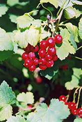 Red Currant (Ribes sativum) at Dutch Growers Garden Centre