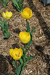 Bellona Tulip (Tulipa 'Bellona') at Dutch Growers Garden Centre