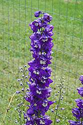Blue Fountains Larkspur (Delphinium 'Blue Fountains') at Dutch Growers Garden Centre