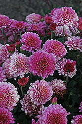 Showbiz Chrysanthemum (Chrysanthemum 'Showbiz') at Dutch Growers Garden Centre
