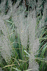 Korean Reed Grass (Calamagrostis brachytricha) at Dutch Growers Garden Centre