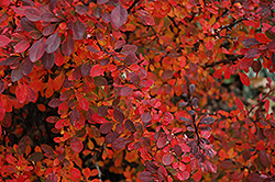 Rose Glow Japanese Barberry (Berberis thunbergii 'Rose Glow') at Dutch Growers Garden Centre