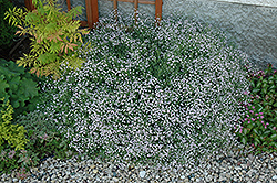 Common Baby's Breath (Gypsophila paniculata) at Dutch Growers Garden Centre