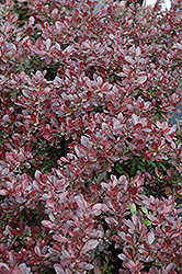 Cherry Bomb Japanese Barberry (Berberis thunbergii 'Monomb') at Dutch Growers Garden Centre