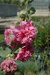 Chater's Double Pink Hollyhock (Alcea rosea 'Chater's Double Pink') at Dutch Growers Garden Centre