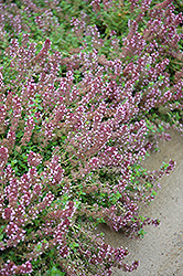 Gold Edge Lemon Thyme (Thymus x citriodorus 'Gold Edge') at Dutch Growers Garden Centre