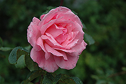 Queen Elizabeth Rose (Rosa 'Queen Elizabeth') at Dutch Growers Garden Centre