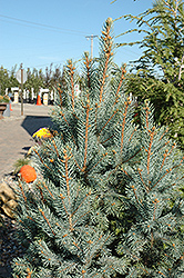 Iseli Fastigiate Spruce (Picea pungens 'Iseli Fastigiata') at Dutch Growers Garden Centre