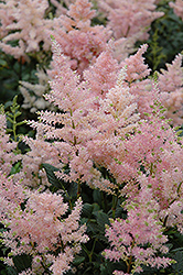 Peach Blossom Astilbe (Astilbe x rosea 'Peach Blossom') at Dutch Growers Garden Centre