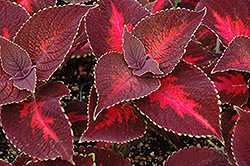 ColorBlaze® Kingswood Torch Coleus (Solenostemon scutellarioides 'Kingswood Torch') at Dutch Growers Garden Centre