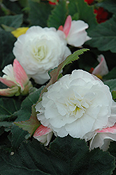 Nonstop® Appleblossom Begonia (Begonia 'Nonstop Appleblossom') at Dutch Growers Garden Centre