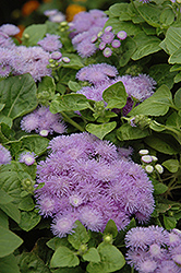 Hawaii Blue Flossflower (Ageratum 'Hawaii Blue') at Dutch Growers Garden Centre