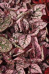 Splash Select Pink Polka Dot Plant (Hypoestes phyllostachya 'Splash Select Pink') at Dutch Growers Garden Centre
