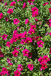 MiniFamous® Compact Purple Calibrachoa (Calibrachoa 'MiniFamous Compact Purple') at Dutch Growers Garden Centre