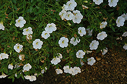 Superbells® Trailing White Calibrachoa (Calibrachoa 'Superbells Trailing White') at Dutch Growers Garden Centre