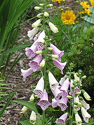 Foxy Foxglove (Digitalis purpurea 'Foxy') at Dutch Growers Garden Centre