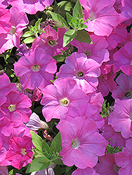 Easy Wave® Pink Petunia (Petunia 'Easy Wave Pink') at Dutch Growers Garden Centre