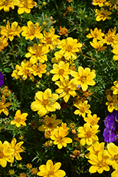 Goldilocks Rocks Bidens (Bidens ferulifolia 'Goldilocks Rocks') at Dutch Growers Garden Centre
