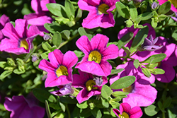 Million Bells® Trailing Pink Calibrachoa (Calibrachoa 'Million Bells Trailing Pink') at Dutch Growers Garden Centre