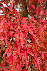 Amur Maple (tree form) (Acer ginnala '(tree form)') at Dutch Growers Garden Centre