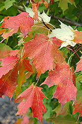 Inferno Sugar Maple (Acer saccharum 'Jeferno') at Dutch Growers Garden Centre