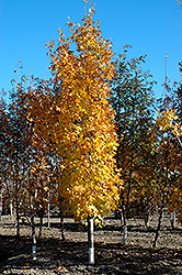 Lord Selkirk Sugar Maple (Acer saccharum 'Jefselk') at Dutch Growers Garden Centre