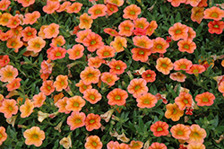 MiniFamous™ Orange Calibrachoa (Calibrachoa 'MiniFamous Orange') at Dutch Growers Garden Centre
