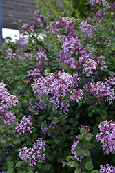Bloomerang Pink Perfume Lilac (Syringa 'Bloomerang') at Dutch Growers Garden Centre